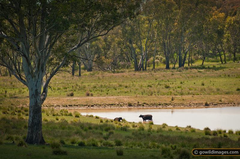 Cow keeping cool near Pine Mountain, on the edge of Burrowa-Pine NP