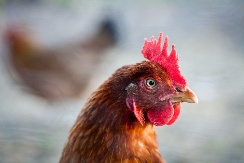 Poultry Portraiture, I