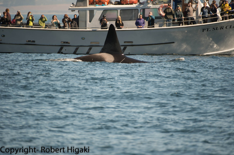 this killer whale is boat friendly