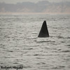 this is classic: when you see this, it is male killer whale.