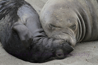 Seal Snuggles I at the Piedras Blancas Elephant Seal Rookery in San Simeon