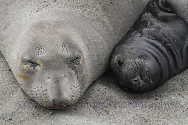 Seal Snuggles II