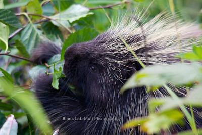 Porcupine eating leaves