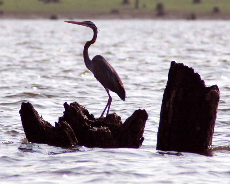 April 27, 2006.<br /> A grey heron in the the backwaters of the Kabini river. (Disclaimer wildlife identification subject to correction)