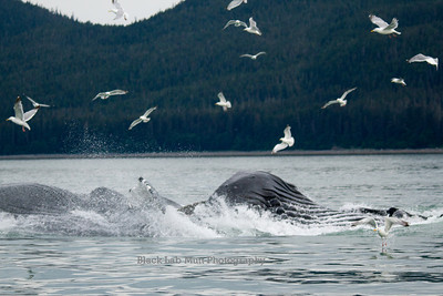Humpback Whales Bubble Net