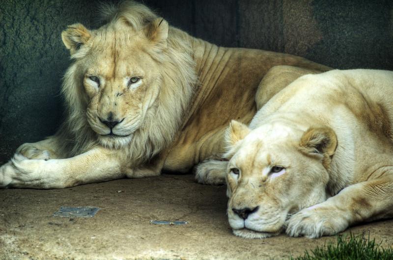 Lions in the Philadelphia Zoo