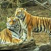 Tigers at the Philadelphia Zoo