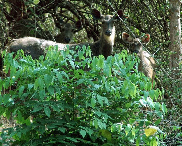 April 30th<br /> Sambar and calf at Kabini
