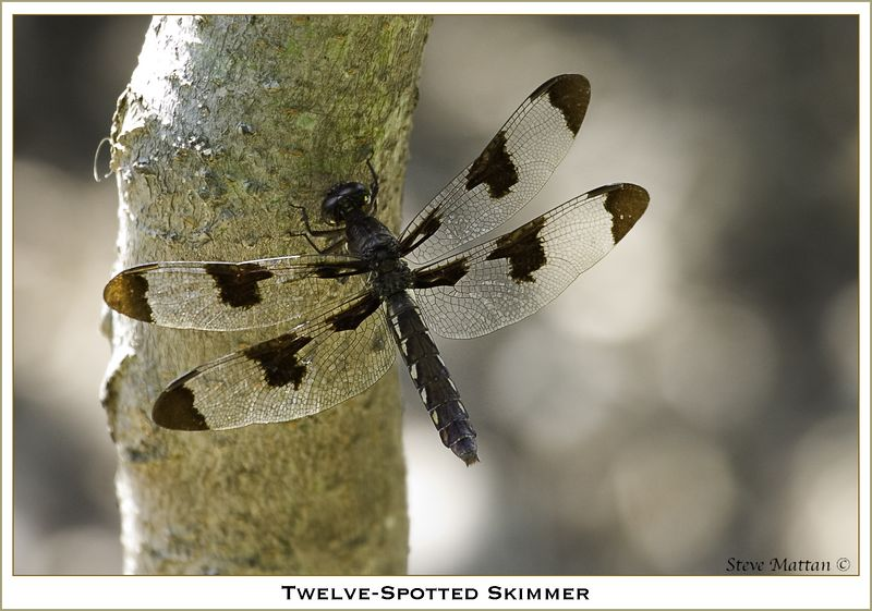 Twelve-Spotted Skipper
