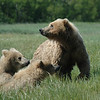 Bear family:  Mother and Two Cubs, Katmai National Park, Alaska