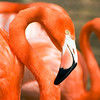 Flamingo at the Philadelphia Zoo