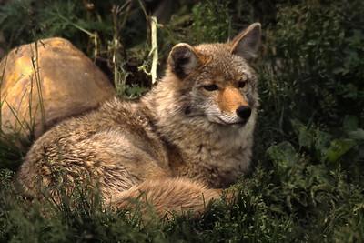 Coyote     027