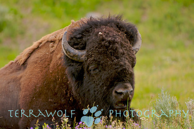 """Call me Bill... Buffalo in Yellowstone National Park"""