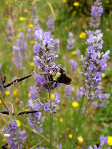 Bumblebees and Lavender