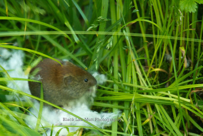 Field mouse eating cottonwood seeds