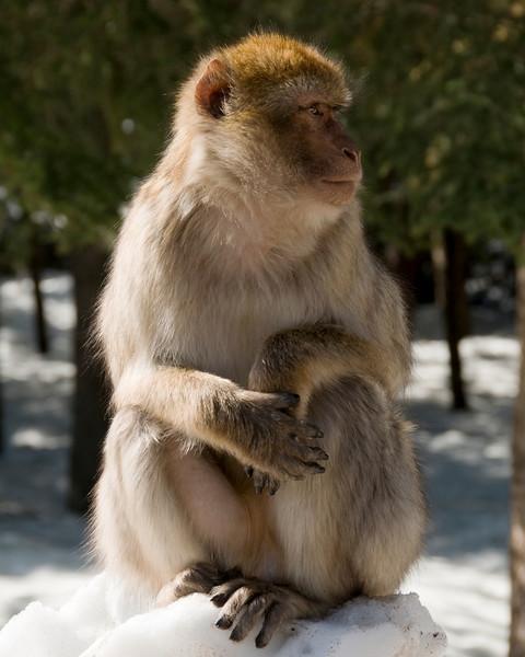 Barbary Ape, High Atlas Mountains, Morocco