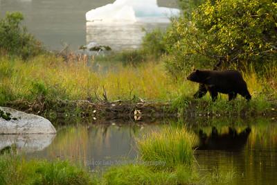 Clan Mother walks on beaver dam