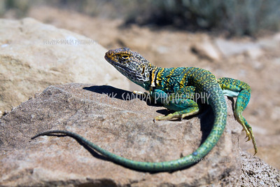 Collared Lizard seen in Chaco Culture National Monument.