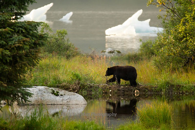 Black bear walking on beaver dam and iceberg on Mendenhall Lake