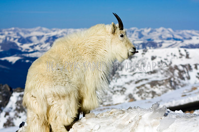 Pose with tongue - Mountain Goat in Colorado.