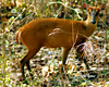April 30th<br /> Muntjac at Kabini