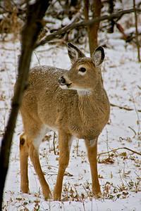 Darling Deer III     DSC03597