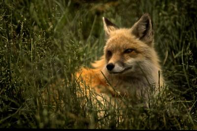 Fox Watch III    808
