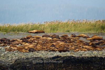 Sleeping Stellar Sea Lions