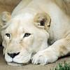 Jezebel the Lioness, Philadelphia Zoo