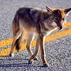 Coyote met in Big Bend National Park, Texas
