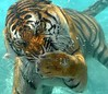 Who knew Tigers could dive!