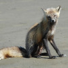 Arctic Fox in Katmai National Park, Alaska