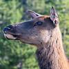 Elk Portrait
