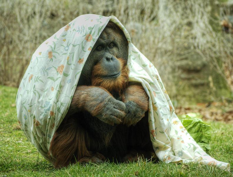 Orangatang at the Philadelphia Zoo