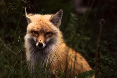 Fox Watch II    803