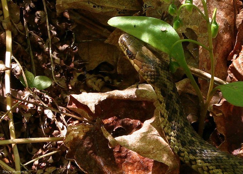 Maritime Garter Snake 1