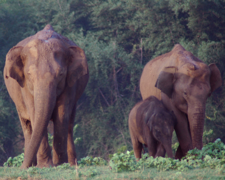 April 29th, 2006.<br /> Elephants with calf.