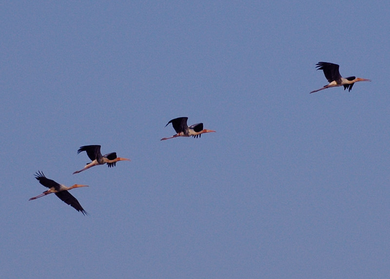 April 28th, 2006.<br /> Painted storks in flight.