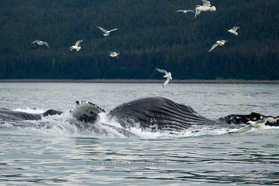 Humpback Whales Bubble Net