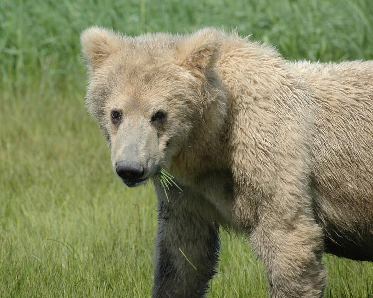 Baby Bear, Katmai National Park, Alaska