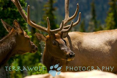 """""""Elk Whispers"""""""