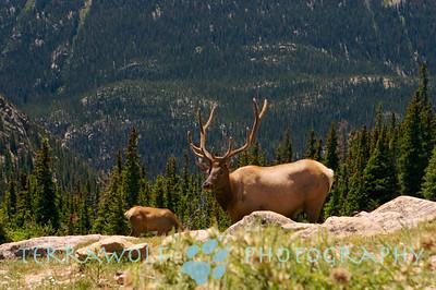 """""""Rack 'em... One proud elk"""""""
