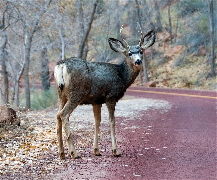Mule Deer, Bryce Canyon National Park, Utah