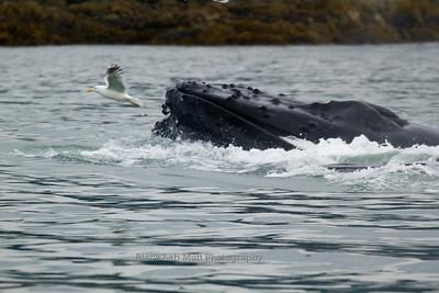 Gull & Humpback Whale