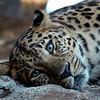 Snow Leopard at the Philadelphia Zoo