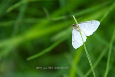 Moth on Grass Blade