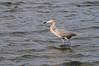 Reddish Egret Wading at East Beach 1