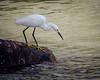 Snowy Egret Takes Aim