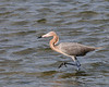 Reddish Egret Wading at East Beach 2