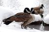 Canada Geese (Central Pk- Fri 2 26 10)